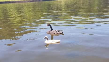 Лебедово езеро…